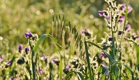 Gras im Morgenlicht Lizenzfreie Stockfotos