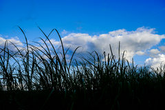 Gras im Schattenbild Lizenzfreies Stockfoto