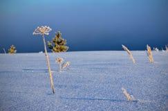 Gras im Schnee Stockfoto