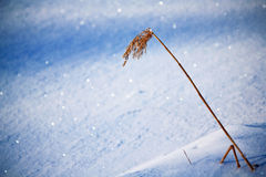 Gras im Schnee Stockfotografie