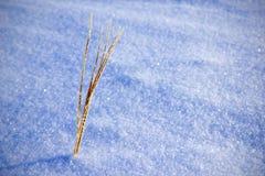 Gras im Schnee Lizenzfreie Stockbilder