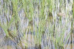 Gras im Seewasser Lizenzfreies Stockbild