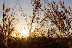 Gras im Sonnenuntergang Stockfotografie