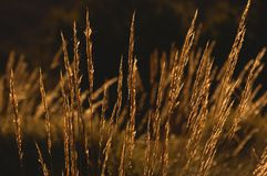 Gras im Sonnenuntergang. Stockfotos