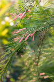 Gras ist rosa Blume Lizenzfreie Stockfotos