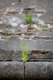 Gras keimte in der flachen Schärfentiefe der Steinwand-Beschaffenheit Stockfoto