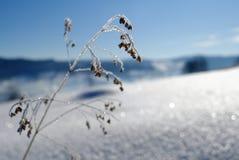 Gras-Kopf umfasst mit Eiskristallen stockbild