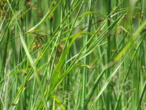 Gras in meerwater Royalty-vrije Stock Afbeelding