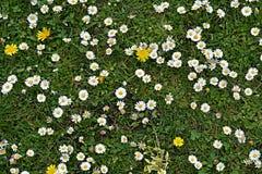 Gras met daisys Royalty-vrije Stock Afbeelding