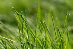 Gras met dauw Stock Fotografie