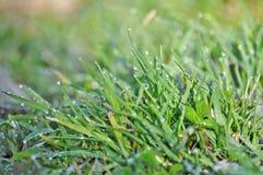 Gras met dauw Royalty-vrije Stock Foto's