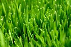 Gras met dauw Stock Foto's