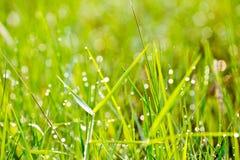Gras met dauw in ochtendbos Stock Afbeeldingen