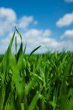 Gras met hemel Stock Foto's