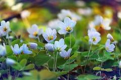 Gras met kleine blauwe bloemen Stock Foto's