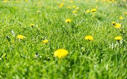 Gras met paardebloemen Stock Afbeeldingen