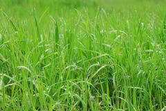 Gras met regendalingen Stock Foto's