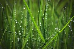 Gras met regendruppels Stock Afbeelding