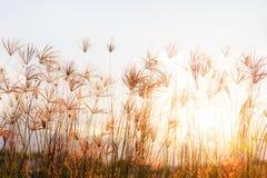 Gras met tijdens zonsondergang, zonnestraal door gras royalty-vrije stock foto