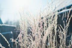 Gras met vorst tegen de achtergrond van de zon die van de de winterochtend wordt behandeld stock afbeelding