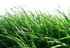 Gras met Witte Achtergrond Stock Fotografie