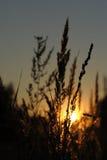 Gras met zon op zonsondergang Royalty-vrije Stock Afbeeldingen