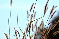 Gras mit blauem Hintergrund Lizenzfreie Stockfotografie
