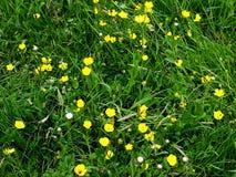 Gras mit Butterblumeen lizenzfreies stockfoto