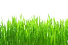 Gras mit dem Tau getrennt Stockfotografie
