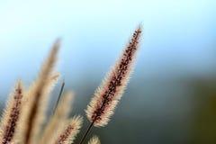 Gras mit einem blauen Hintergrund Stockfoto