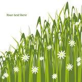 Gras mit Gänseblümchen Stockbild