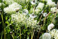 Gras mit kleinen weißen Blumen Lizenzfreies Stockfoto