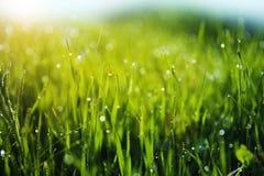 Gras mit Morgen-Tau-Tropfen Stockbilder