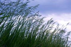 Gras mit Startwerten für Zufallsgenerator stockbild