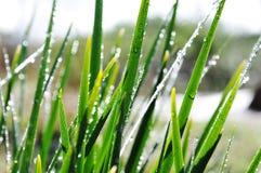 Gras mit Tau Lizenzfreie Stockfotografie