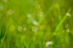 Gras mit Tau im Morgenwald Stockbild