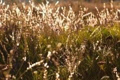 Gras mit Tau-Tropfen stockfotografie