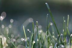 Gras mit Tautropfen Lizenzfreie Stockbilder