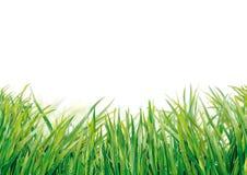 Gras mit Tropfen Lizenzfreies Stockbild