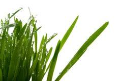 Gras mit Tropfen des Wassers - getrennt Stockfotografie