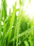 Gras mit Wassertropfen Lizenzfreie Stockfotografie
