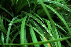 Gras mit Wassertropfen Stockfotos