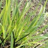 Gras mit waterdrops lizenzfreie stockbilder