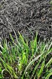 Gras nachdem dem Brennen Stockbild