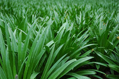 Gras - Nahaufnahme Stockfotografie