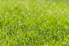Gras-Nahaufnahme mit Tau-Tropfen, mit flachem Fokus Stockfoto