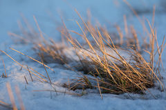 Gras nevado velhos Fotos de Stock Royalty Free