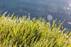 Gras in ochtenddauw die wordt behandeld Royalty-vrije Stock Afbeelding