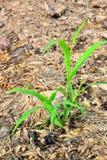 Gras omhoog op stapels van stro Stock Foto's