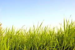 Gras onder blauwe hemel Royalty-vrije Stock Fotografie